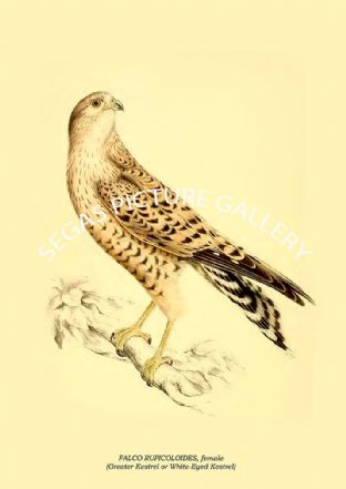 FALCO RUPICOLOIDES, female - Greater Kestrel or White-Eyed Kestrel